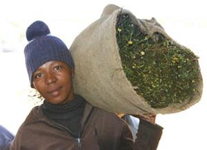Rooibush-Tee-Aufgußbeutel